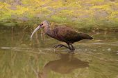 White-faced Ibis (Plegadis chihi) hunting in Northern California poster
