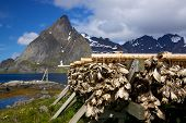 Traditional way of drying stockfish on Lofoten islands in Norway poster
