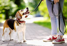 Young Woman Walking With Beagle Dog In The Summer Park. Obedient Pet With His Owner. Walking Of Pets