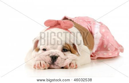 cute puppy - female english bulldog puppy wearing pink laying down isolated on white background - 8 weeks old