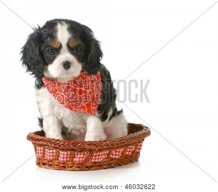 puppy - cavalier king charles spaniel puppy sitting in a basket isolated on white background - 7 weeks old