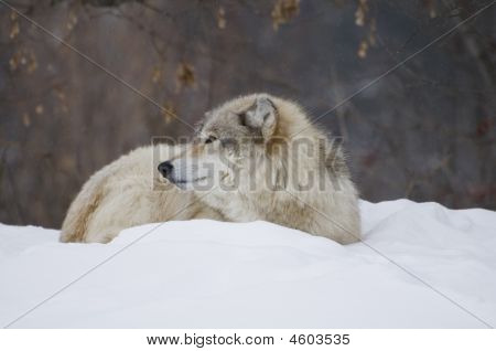a wolf laying down in the snow during a cold day poster