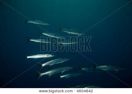 great barracuda (sphyraena barracuda)taken in the red sea. poster