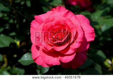 rose macro 1