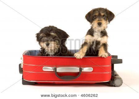 Two Cute Puppies Brothers In The Suitcase Isolated