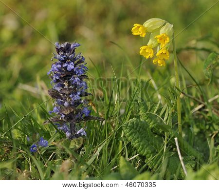 Bugle and Cowslip flowers