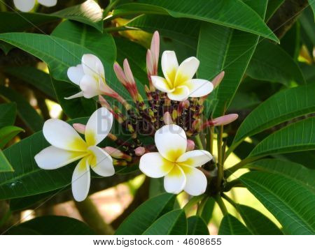 Frangipani Yellow_white