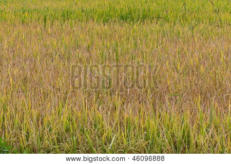 Golden Fields In Summer