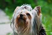 Happy Yorkshire terrier on a trees background poster