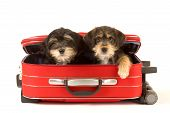 Two cute puppies brothers in the suitcase isolated on white poster