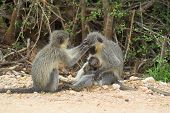 male monkey grooming female, while baby feeds from mothers teet poster