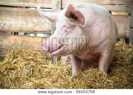 Pig On Hay And Straw