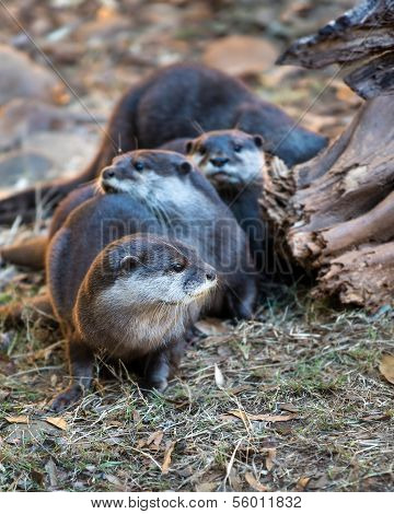 Group of Asian small clawed otters (amblonyx cinereus)