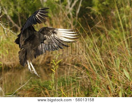 Turkey Vulture (cathartes Aura) Flying In A Field