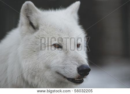 Close-up portrait  of Polar Wolf or White Wolf