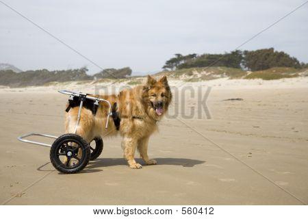 Dog On Wheels 02