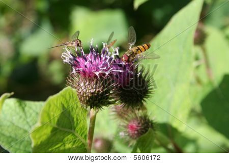 Burdock  Hoverflies