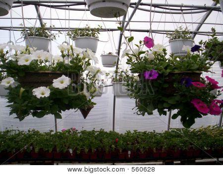 Greenhouse Hanging Plants