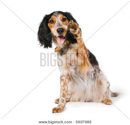 Cute dog waving its pawn