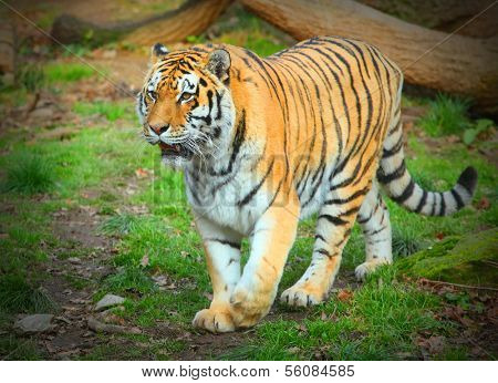 The Siberian Tiger.