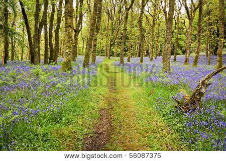 Bluebells Carpet And Path