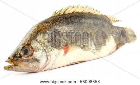 Mottled Nandus or veda fish of Sout Asia poster