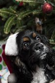 a cute Cocker Spaniel in front of a christmas tree with a santa hat poster