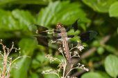 Twelve Spotted Skimmer perched on a leaf. poster