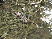 A baby alligator climbing onto the shoreline of a lake. poster