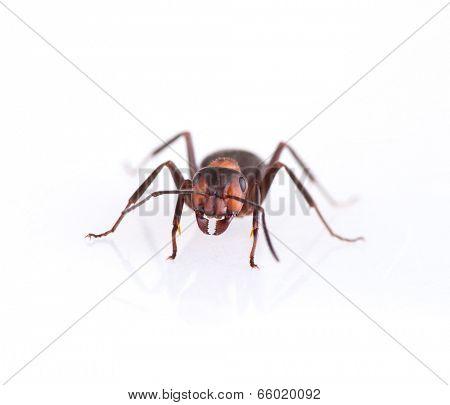 Ant isolated on white background, macro photo.