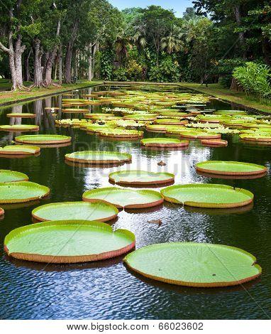 The lake in park with Victoria amazonica Victoria regia.