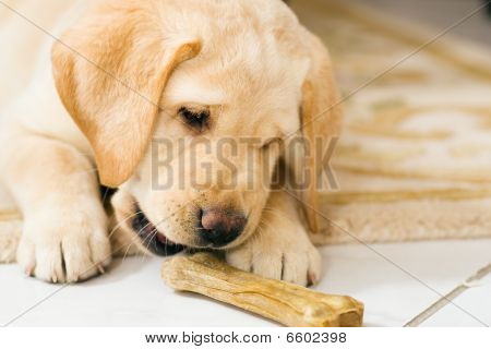 Labrador Retriever puppy contemplating food