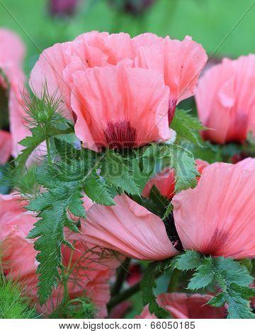Oriental Poppy (papaver Orientale )