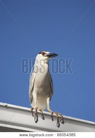 Black crowned night heron (Nycticorax nycticorax) on a sky background