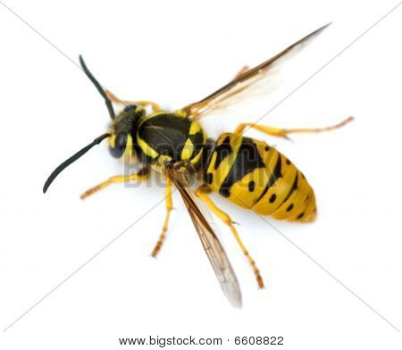 European Wasp Isolated