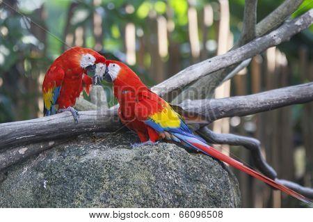 Scarlet Macaw birds couple