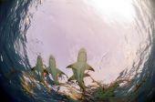 Several lemons sharks swimming on the surface. poster