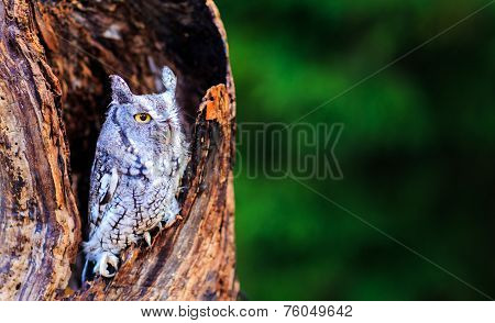Screech owl in deep thought