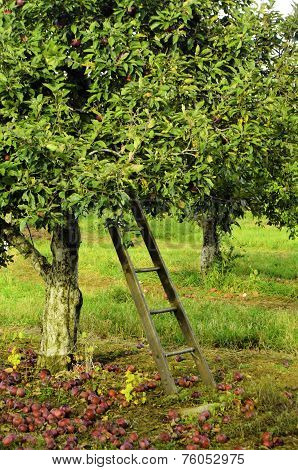 Apple tree with ladder