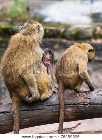 Guinea Baboon Family On The Branch