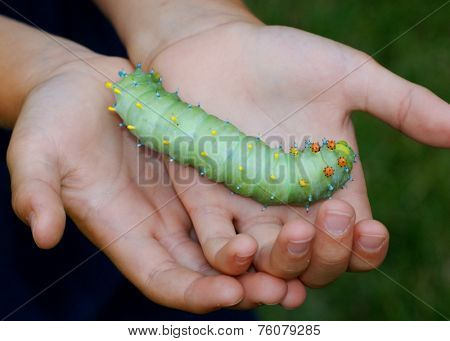 Giant Cecropia Moth caterpillar, Hyalophora cecropia