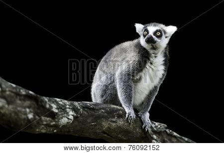 Ring-Tailed Lemur (Lemur Catta) on black background