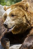 carnivore, brown bear, majestic and powerful animal poster