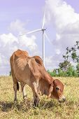Cow is grazing on meadow near the big windmill in wind farm electricity plant Korat province in Thailand. poster