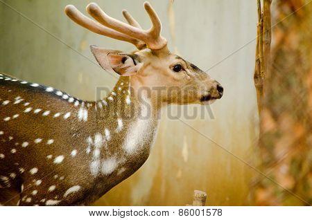 Chital Is Deer
