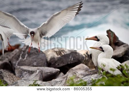 Two masked boobies on a rock and one swallow tailed gull taking off in the Galapagos Islands