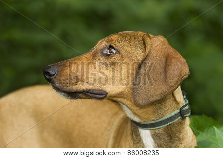 Hound Dog Looking Sheepish