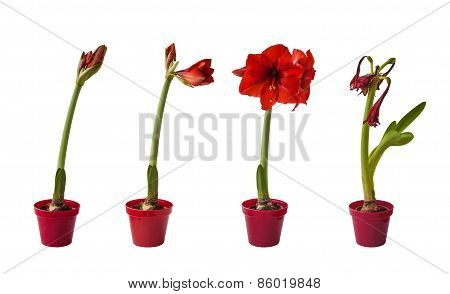 The sequence of the flowering Hippeastrum red on a white background isolated poster