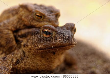 Portrait Of The Female The Common Toad