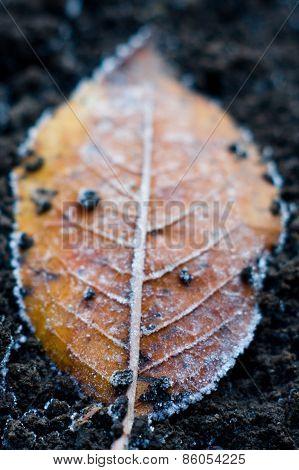 autumn fallen  leaves under hoarfrost